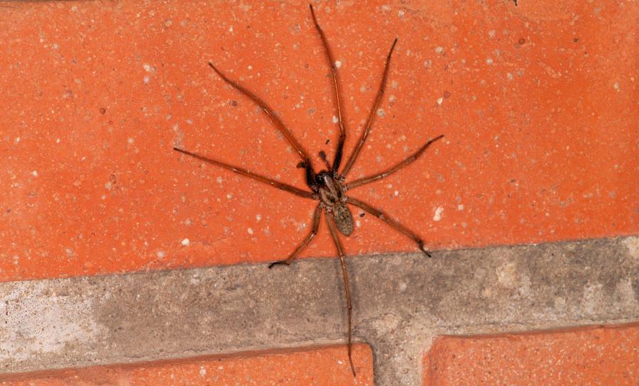 Agelenidae, Funnelweb, cobweb or grass spiders