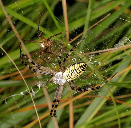 Argiope Bruennichi Wasp Spider
