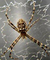 Thumbnails Australian spiders