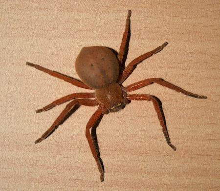 Huntsman spider Heteropodidae Selenopidae Olios Neosparassus Isopeda