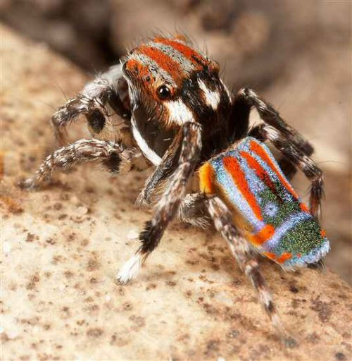 Peacock jumping spiders - photo#18